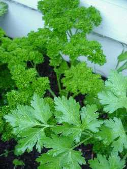 Parsley – not just a garnish