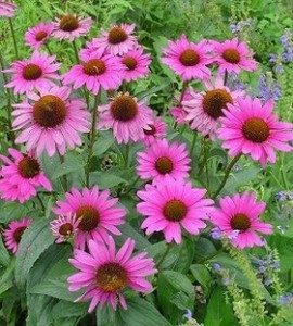 Using Echinacea for Problem Skin
