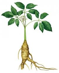 The Benefits of Siberian Ginseng